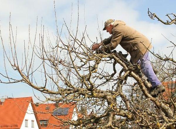 Обрезать яблоню нужно регулярно