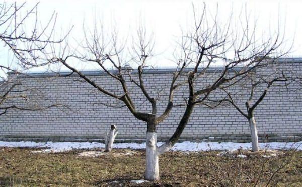 Плодовые деревья необходимо омолаживать