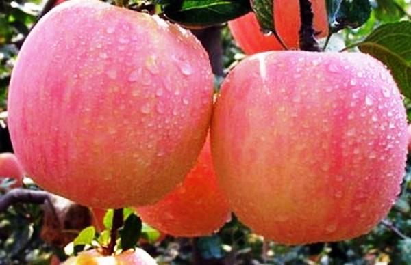 Яблоки Фуджи отличаются шикарными вкусовыми качествами