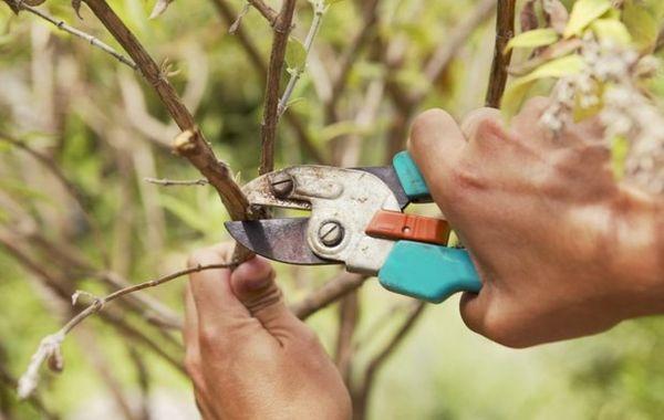 Омоложение старых яблонь проводят в течение нескольких лет