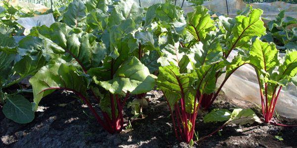 Частота поливов зависят от стадии вегетации свеклы