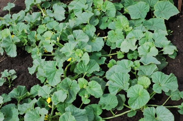 Дыню в Подмосковье рекомендуется выращивать в теплице