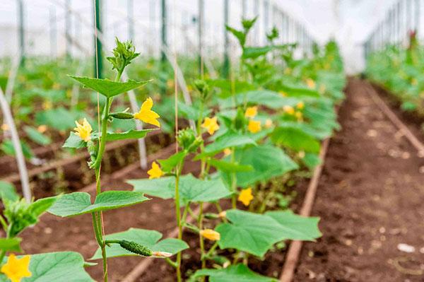 Для выращивания в Подмосковья подходят огурцы Союз