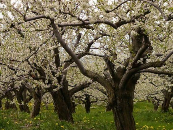 У стареющего дерева плоды теряют качество