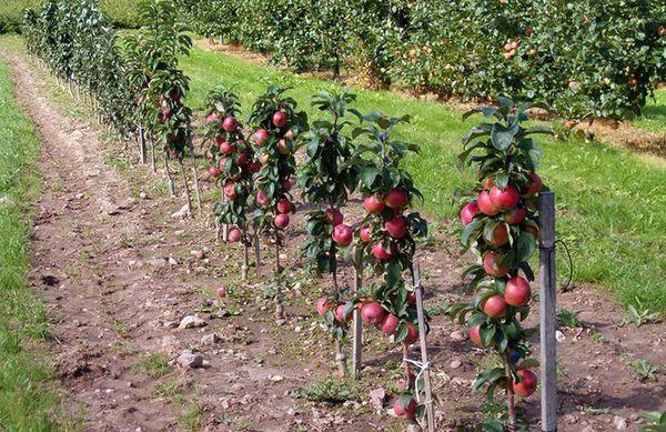 Яблони выращенные на карликовом подвое отличаются урожайностью