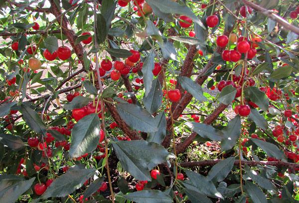 Сорт вишни Щедрая самоплодный
