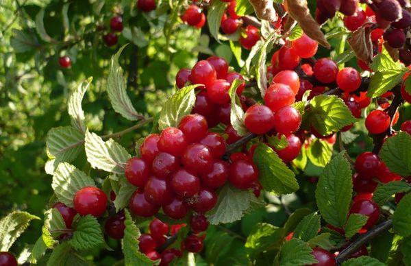 Кустовая вишня устойчива к климатическим условиям