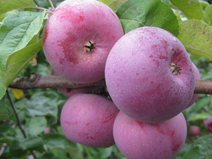 Высокоурожайный сорт компактной яблони Алеся