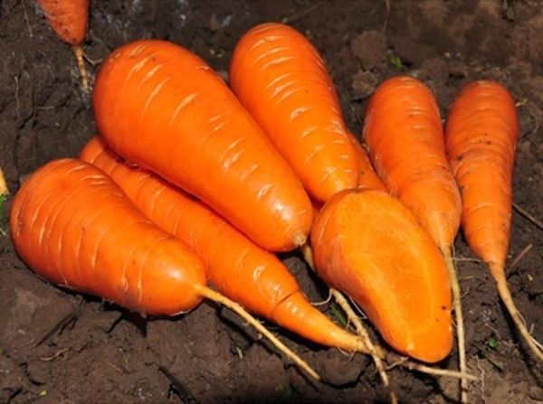Перед посадкой моркови необходимо подготовить семена