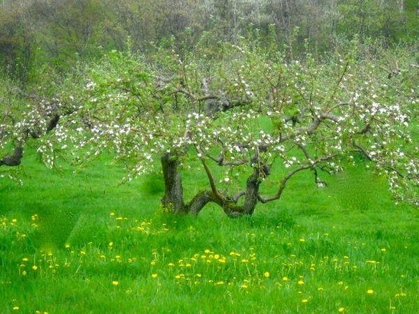 Крона яблони формируется на протяжении нескольких лет