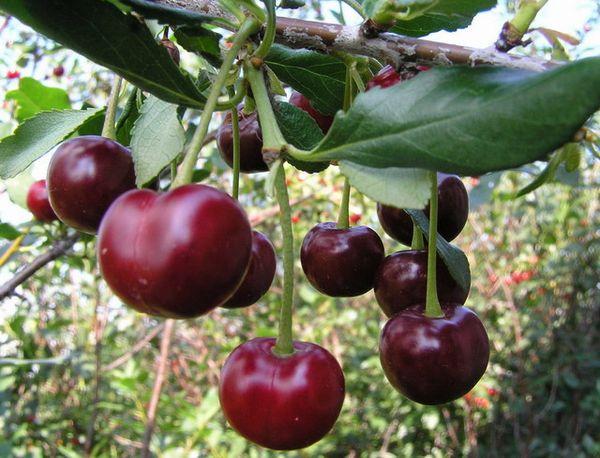 Аграрии выделяют три вида вишен