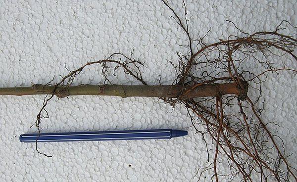 Подвои для яблони разделяются на несколько видов
