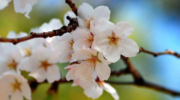 Ягоды на дереве появляются в результате самооплодотворения