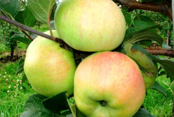Яблоня Богатырь имеет отличную устойчивость к парше