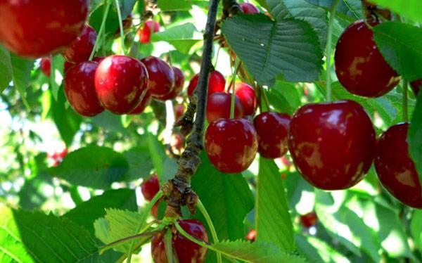 Мичуринская вишня выведена во ВНИИ садоводства имени Мичурина