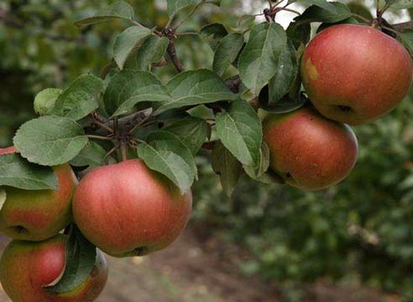 Из-за неправильной посадки яблоня может не плодоноситьИз-за неправильной посадки яблоня может не плодоносить