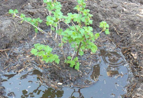 В августе саженцы винограда уже не высаживают