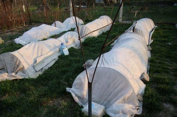 С приходом весны укрывной материал винограда нужно почистить