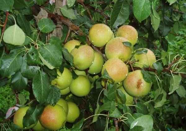 Плоды Отрадненская могут храниться до 4-х месяцев