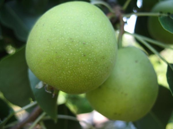 Аромат плодов сорта Башкирская летняя очень нежный