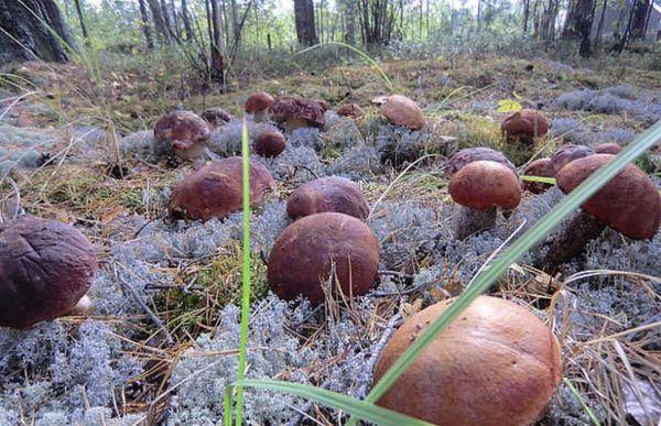 Выращивать грибы можно с помощью пересадки грибницы