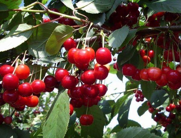 Плоды вишни богаты органическими кислотами
