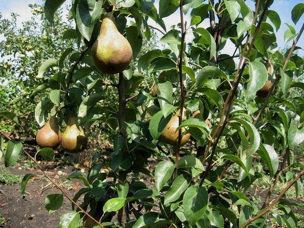 Плоды Бере Лигеля имеют вес порядка 170 гр.