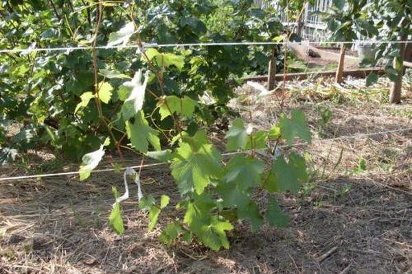 Первый год после посадки винограда – самый важный
