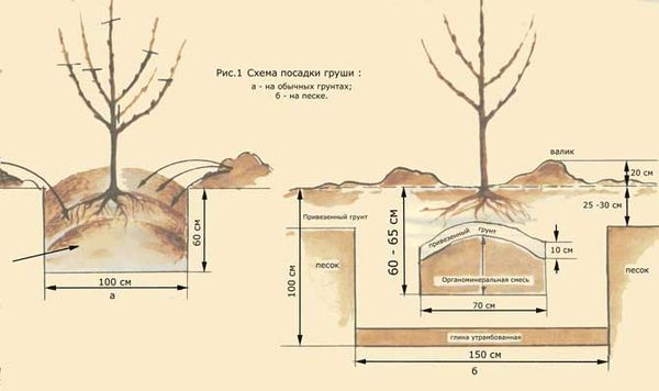 Схема посадки саженцев груши