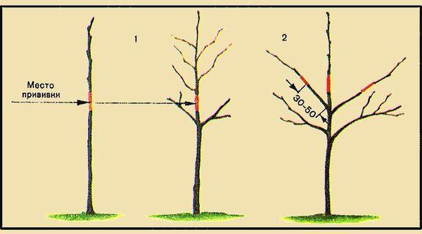 Схема прививки груши