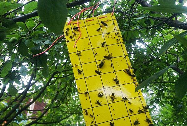 Ловушки против вишневой мухи используются весной и летом