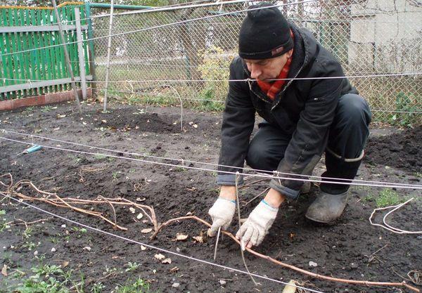 Подготовка винограда к зиме имеет огромное значение