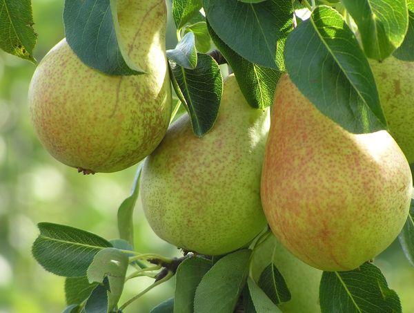 В среднем плоды Аллегро весят порядка 140 г