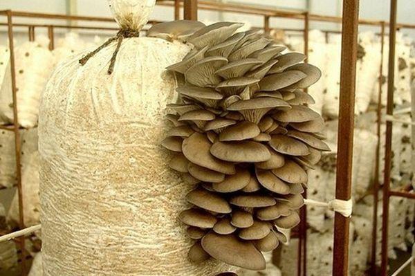 Популярный сорт шитаки