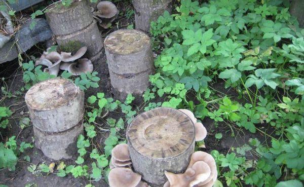 За сезон можно собирать грибочки несколько раз