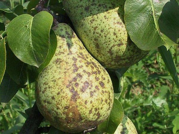 Парша на плодах груши