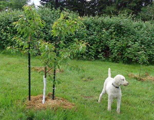 Сажать дерево можно весной или осенью