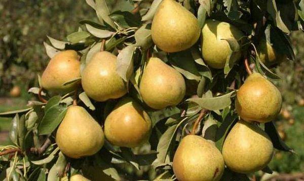 Плоды сорта весят в среднем весит 140 г