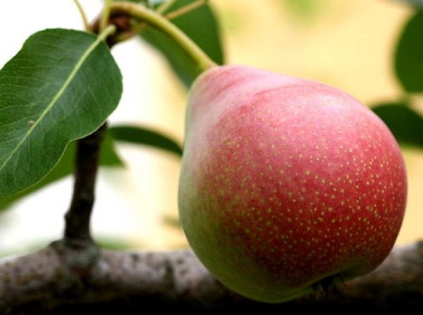 Вес плодов варьируется от 120 г до 215 г