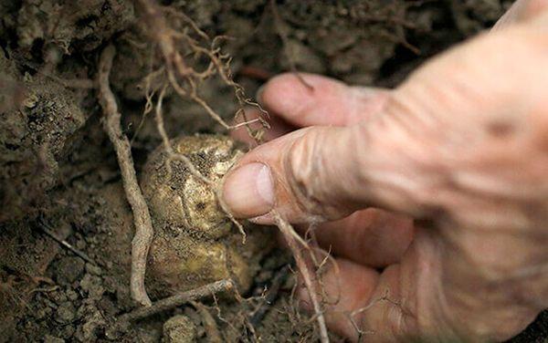 Грибы можно садить в открытый грунт