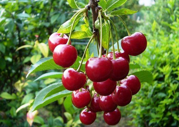 Молодежная отличается ягодами с заметной кислинкой
