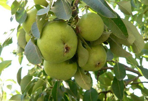Плоды сорта по весу превышают 200 г