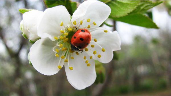 Саженец начинает цвести с 9-10 лет