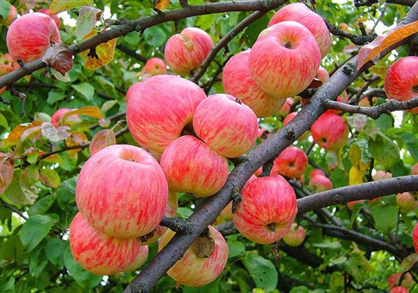 Плодоношение яблони зависит еще и от сорта
