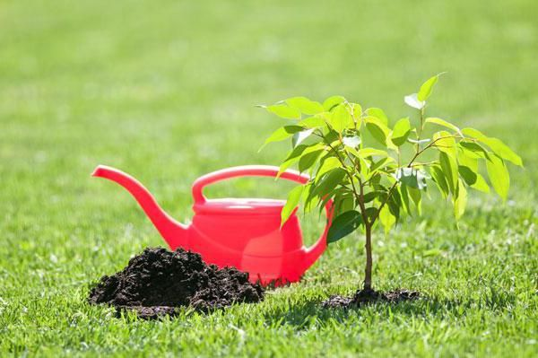 Молодое деревце поливают раз в 10 дней