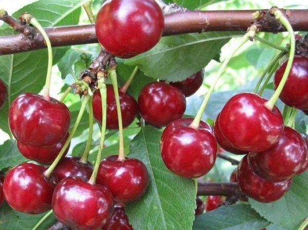 Как размножить вишню летом черенками, особенности выращивания и ухода за саженцами в домашних условиях