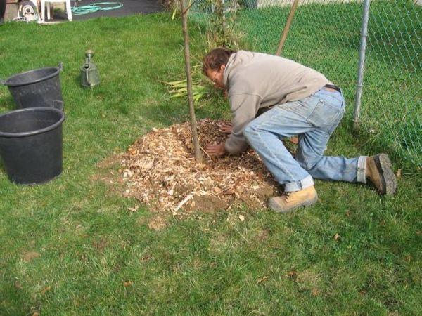 Высаживают саженцы весной или осенью