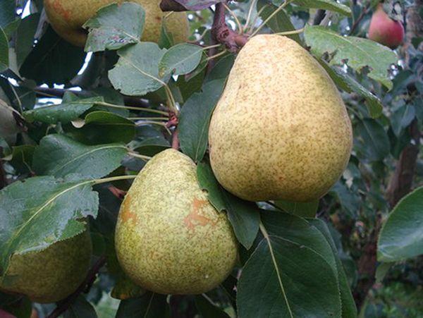 Размер фруктов сорта Сказочная средний
