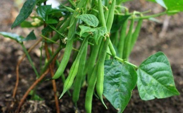 В период вегетации фасоль подкармливают несколько раз