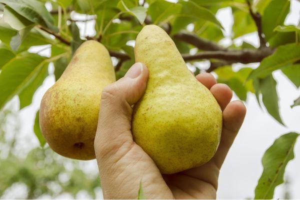 Саженец груши Пермячка должен быть однолетним